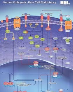 Human_Embryonic_Pathway