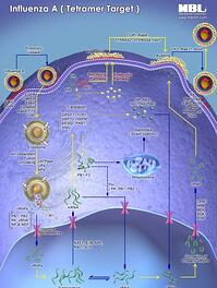 Influenza A_Pathway