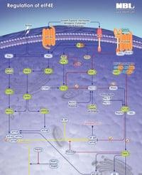 Regulation_eIF4E_Pathway